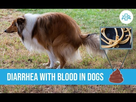 Diarrhea with blood in dogs, are there home remedies?