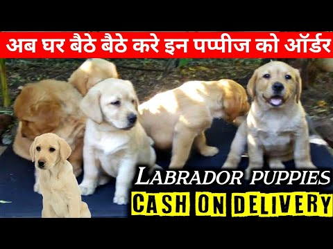 Buy labrador puppies on cash on delivery | nice quality & genuine price |@eyna the gsd life