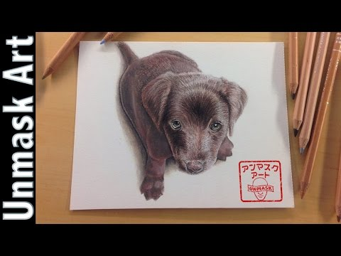 How to draw a chocolate labrador puppy   colored pencil drawing time lapse