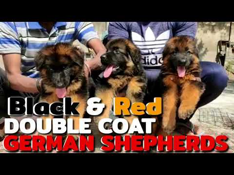 Black&red double coat german shepherd puppies with kci registration (kennel club of india) ready
