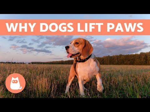 Why do dogs lift their front paw?