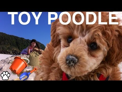 Toy poodle - fun facts about the toy poodle - a tutorial by cooking for dogs