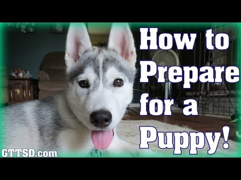 How to prepare for a puppy   bringing home a husky puppy