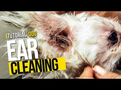 Cleaning a dog's ears -product review usually used in grooming.