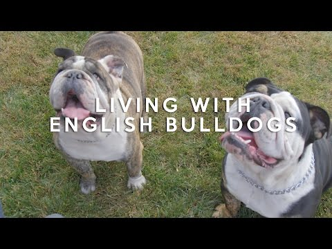 All about living with english bulldogs
