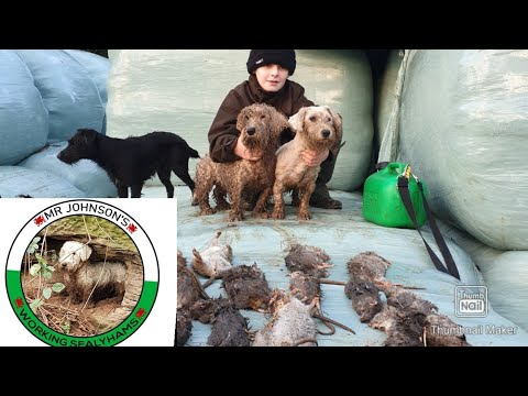 Ratting with terriers killing rats