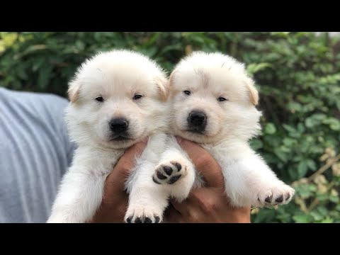 Rare white german shepherd double coat working line straight back (gsd) puppies for sale in india.