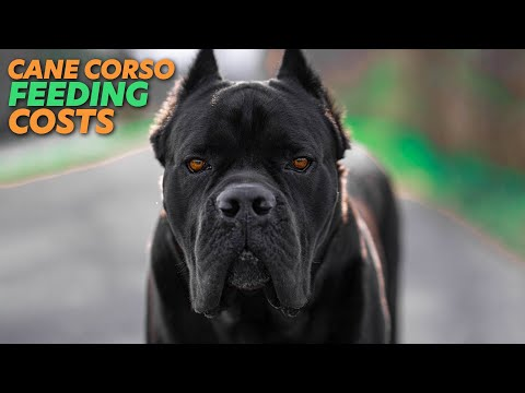 Cane corso feeding costs raw diet - kibble - pre-made raw