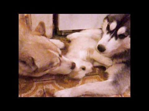 4 week old husky puppy meets dad & bonds for the 1st time (too cute!) mom still protects!