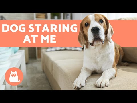 Why is my dog staring at me? 👀🐕 (4 common reasons)