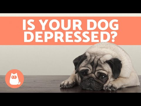 Depression in dogs - symptoms and what to do