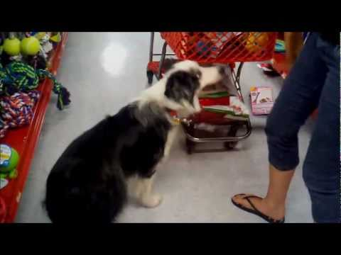 How smart is your border collie?