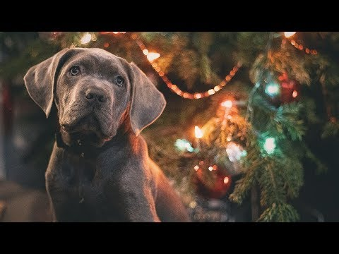 What puppies really want for christmas!