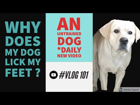 Why does my dog lick my feet ? | an untrained dog