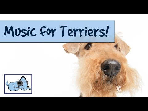 Music for terriers! if you have a naughty or anxious terrier, calming music! 🐶 #terrier02