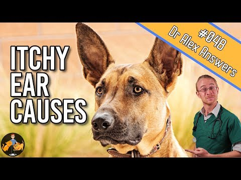 Why are my dogs ears itchy? - dog health vet advice