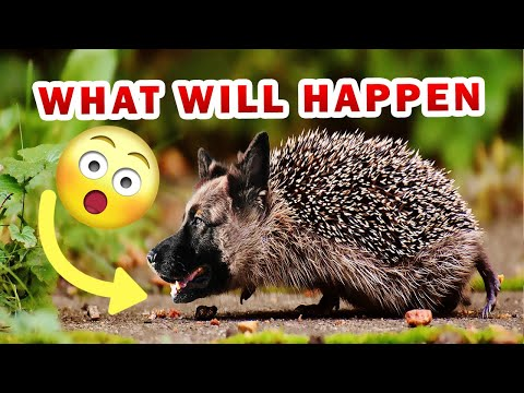 Can hedgehogs eat dry dog food? this is what will happen