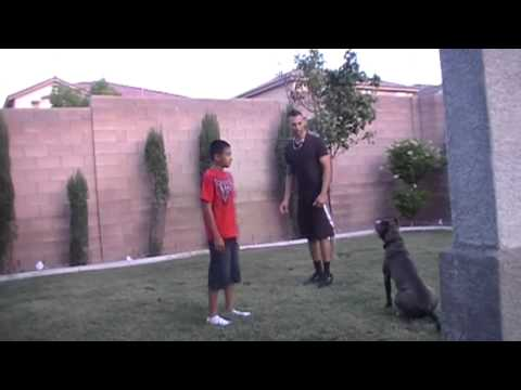 Blue nose pitbull training to attack, regular commands, and commands with hand gestures.