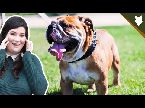 Are english bulldog good for first time owners