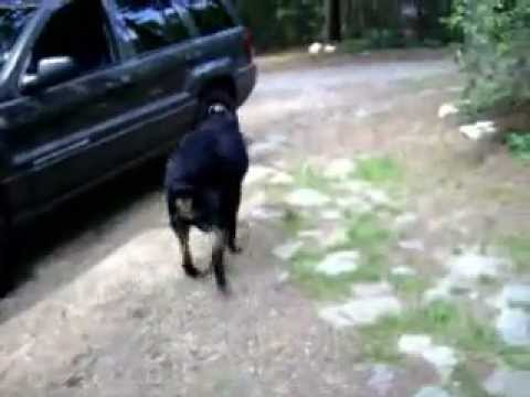 Rottweiler dog with hip dysplasia and elbow dysplasia.serious mobility problems for duncan