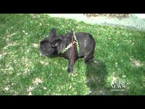 Flatulence stop louis the french bulldog farting in his sleep....