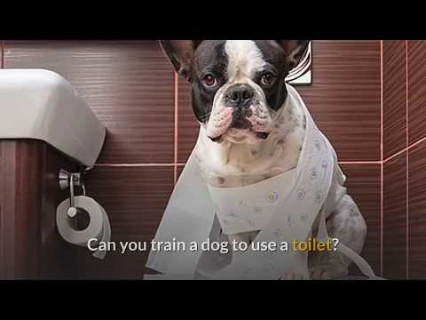 How can you train a dog to use the toilet - toilet training for small dogs