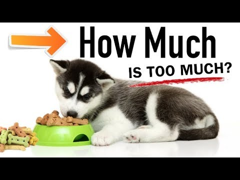 How much should you feed your husky?