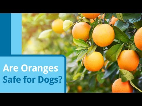 Are oranges safe for dogs?