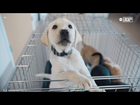 Smart collar helps puppies become guide dogs   all good