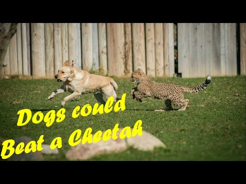 Dogs could beat a cheetah | cool facts about dogs