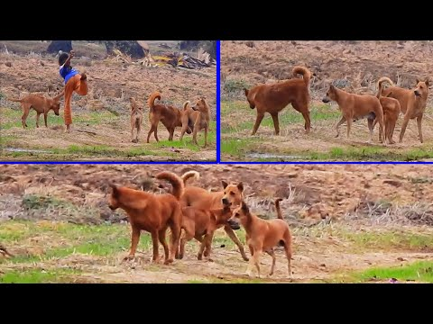 What happend there we looking to australian shepherd group doing what and girl try to help them....