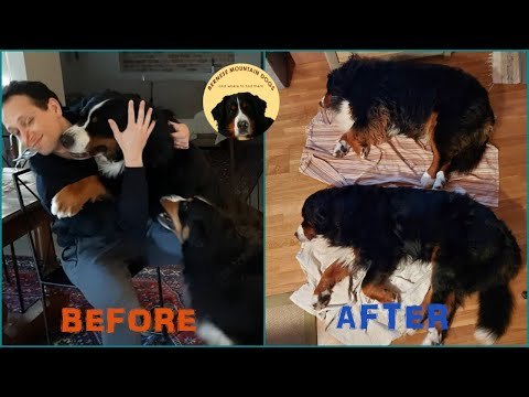 Funny bernese mountain dogs: before and after a walk!