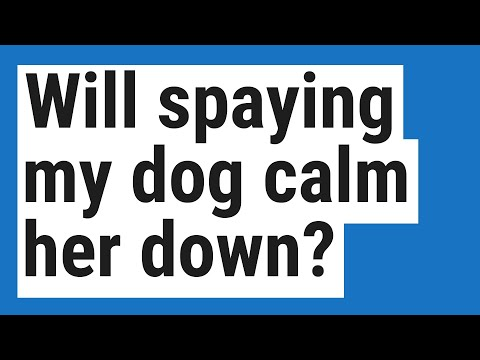 Will spaying my dog calm her down?