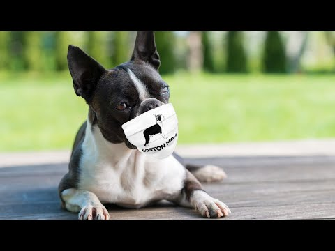 6 reasons for bad breath in your boston terrier solutions