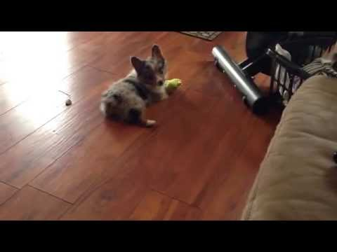 Corgi/aussie mix playing with frog