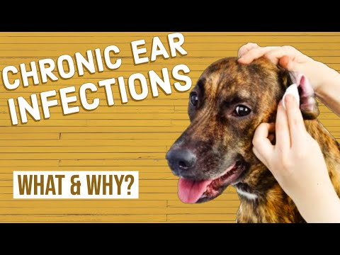 Chronic ear infections in dogs