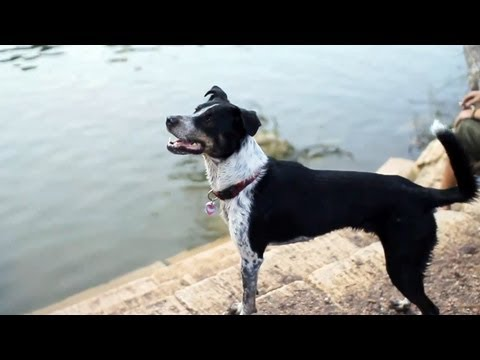 Border collie-blue heeler mix chases a squirrel | the daily puppy