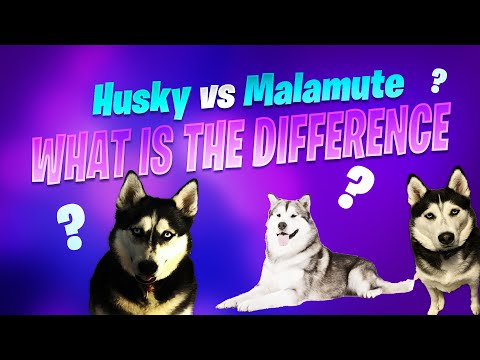 Siberian husky vs alaskan malamute: what is the difference?