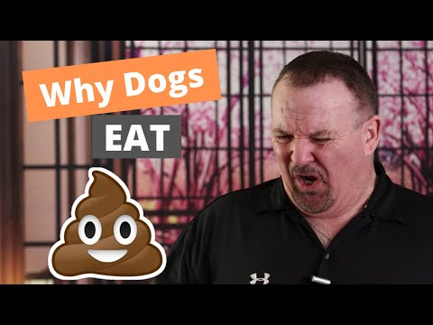 Why do dogs eat poop - how to stop it