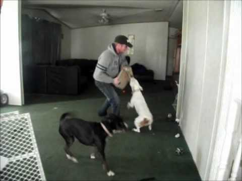 American pit bull terrier the ultimate in home security