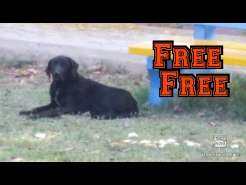 Labrador female for free adoption   what is mix dog?   mixed breed disadvantage for dogs