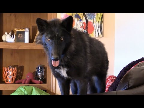 Living with a wolf or wolfdog