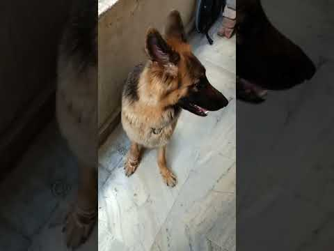 How to teach your german shepherd, basic obedience training like sit, hand shake, stay