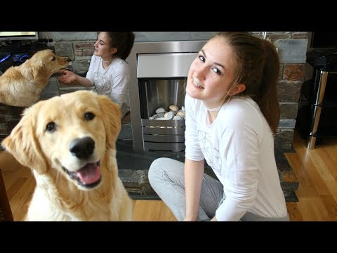 Golden retriever 8 month old puppy tricks, toys, training and treats! claudia greiner