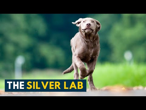 Silver labrador: your guide to the most popular dog breed in the states!