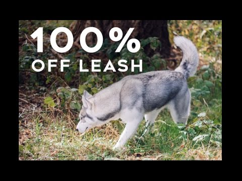 Step by step how to train your husky to be fully off leash   little husky voodoo