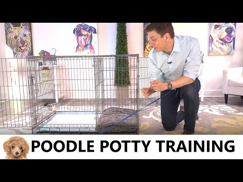 Poodle potty training from world-famous dog trainer zak george - how to potty train a poodle puppy