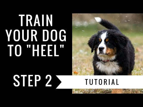 How to train your dog to heel: step 2 tutorial