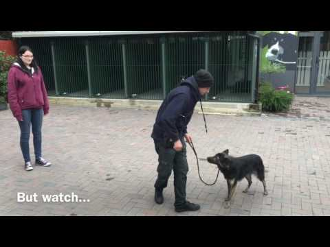How to stop your dog from being aggressive to other dogs and people - with danny the collie cross