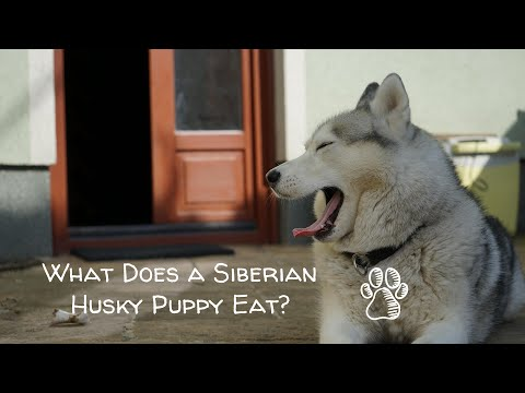 What does a siberian husky puppy eat?